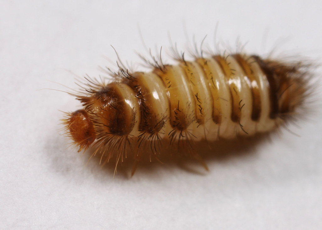 Be careful with fuzzy and hairy caterpillars