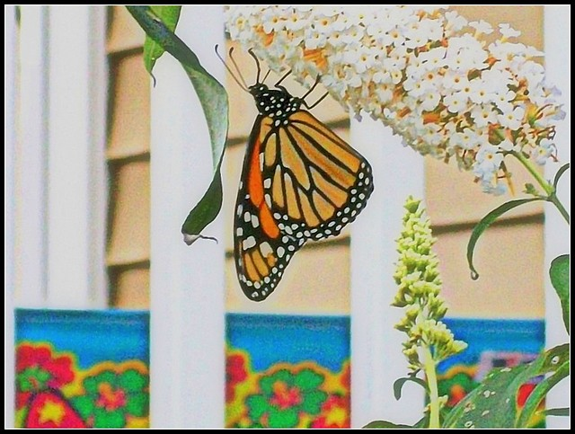Monarch Butterfly - Photo by STEVEN CHATEAUNEUF - August 31, 2012 -This Image Was Edited On November 20, 2017