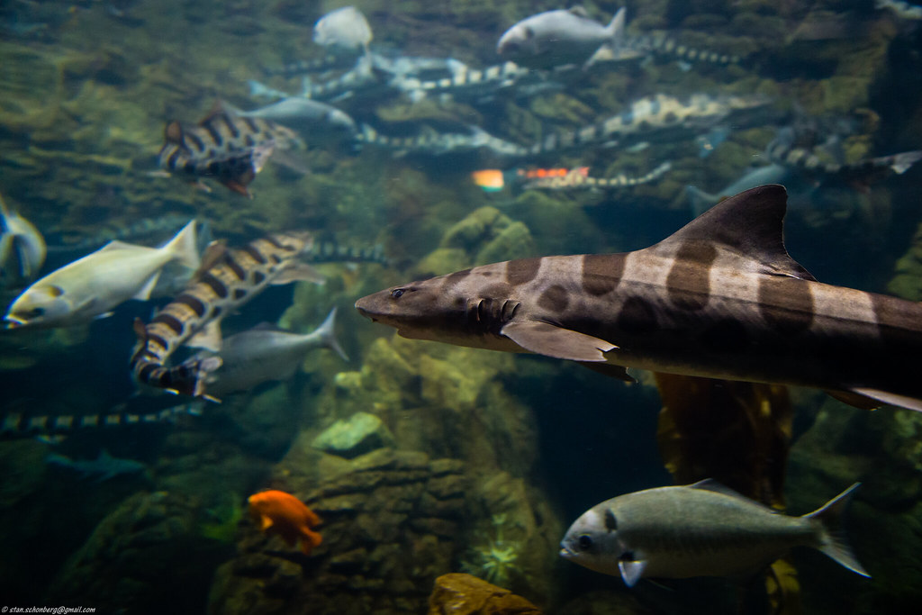 Shark in aquarium at Sea World San Diego | Stanton Schonberg