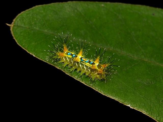 Early to Mid-instar Stinging Nettle Slug Caterpillar (Cup Moth, Limacodidae)