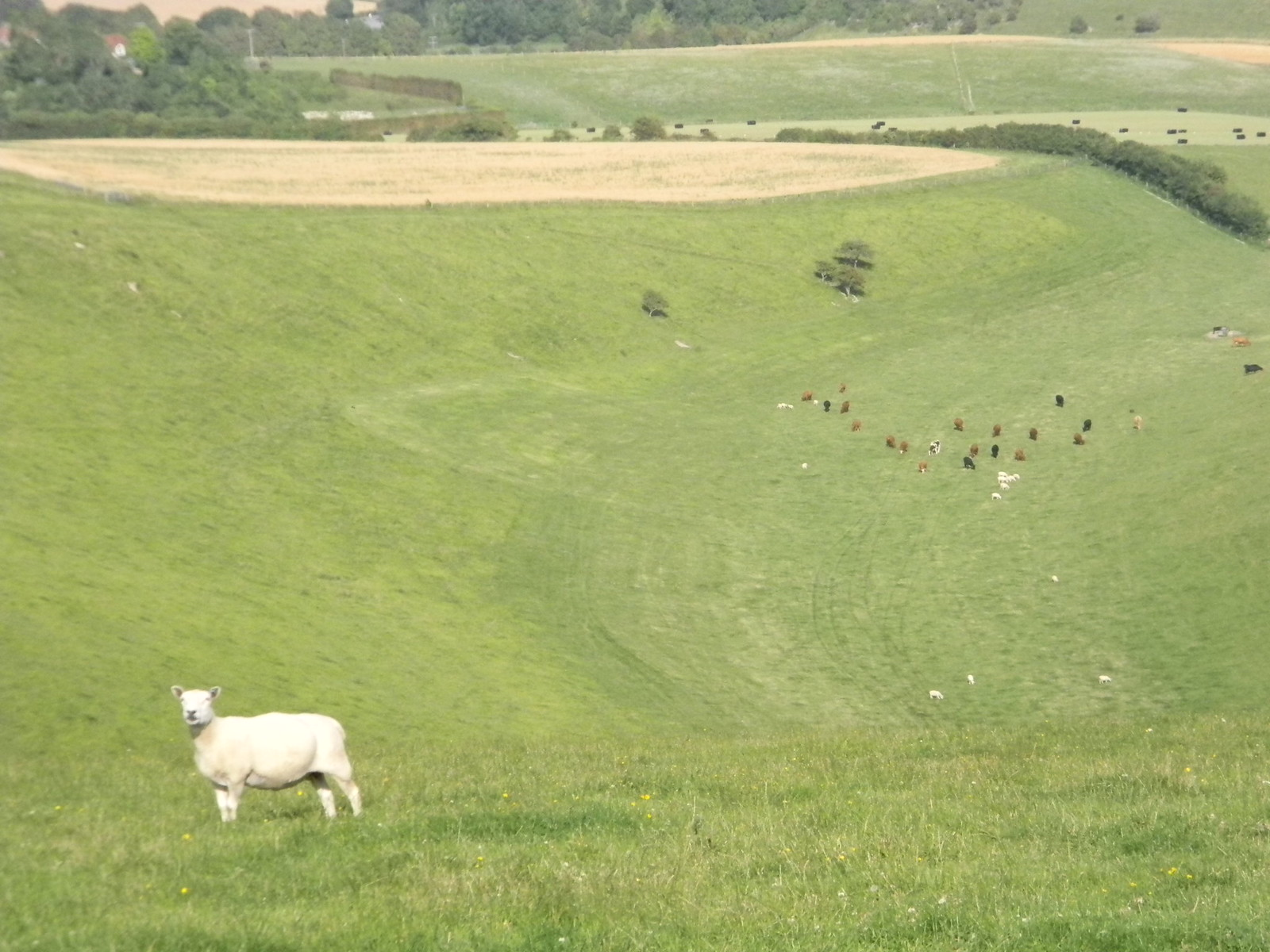 Top Sheep Amberley to Shoreham