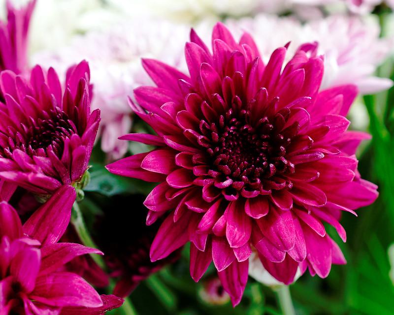 Chrysanthemum 299