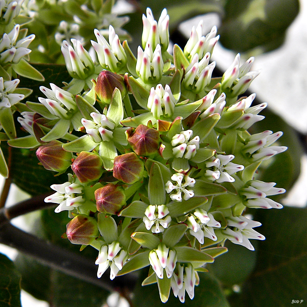 Curtiss' Milkweed (Bravely Blooming in Roadway) - One of our favorite South Florida flowers
