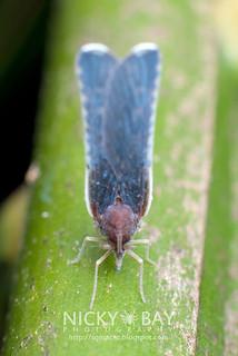 Derbid Planthopper (Derbidae) - DSC_7114