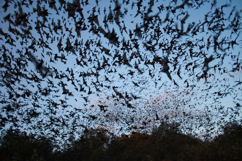 Mexican free-tailed bats exiting Bracken Bat Cave | by USFWS Headquarters