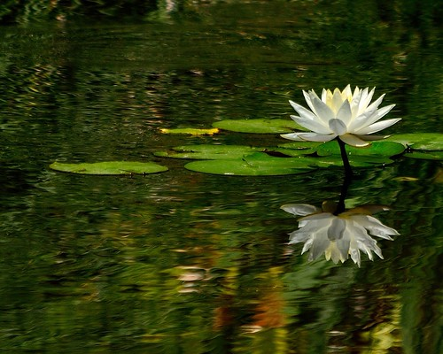 california flowers white flower nature water gardens garden landscape pond nikon lily library huntington d3100