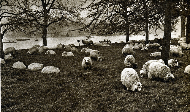 London in the 1920's-sheep by the Serpentine