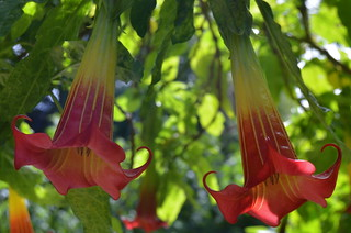 Brugmansia | by mcgrayjr
