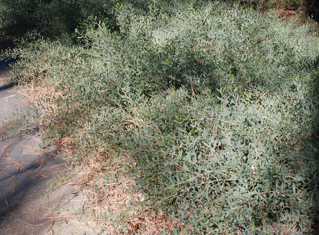 Acacia Redolens Desert Carpet Desert Carpet Acacia Arbo Flickr