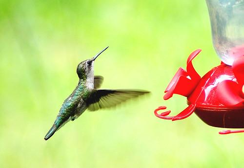 female ruby-throated hummingbird 8-10-12 | by midgetinvasion