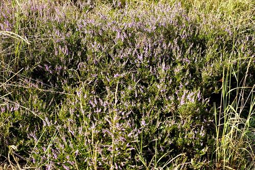 Calluna vulgaris (L.) Hull. | by urjsa