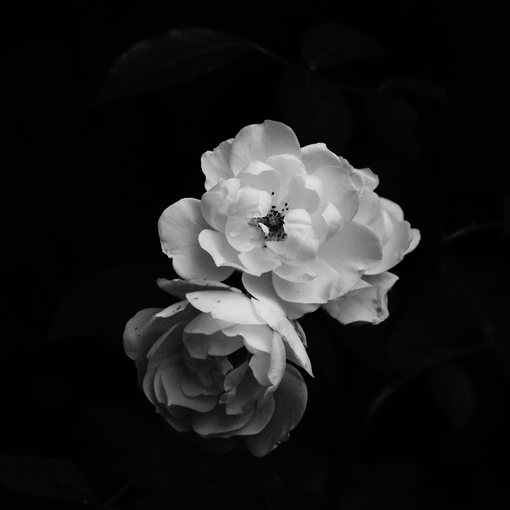 3050adb00 Two White Roses | Today was very grey, so the only way I cou… | Flickr