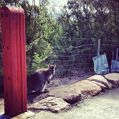 Wallaby right next to the walking trail.