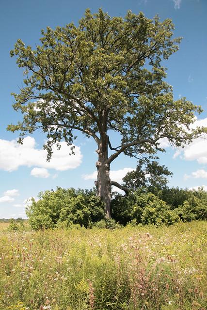 The Biggest Bur Oak