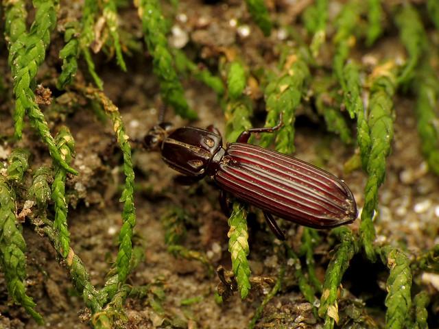 Wrinkled Bark Beetle