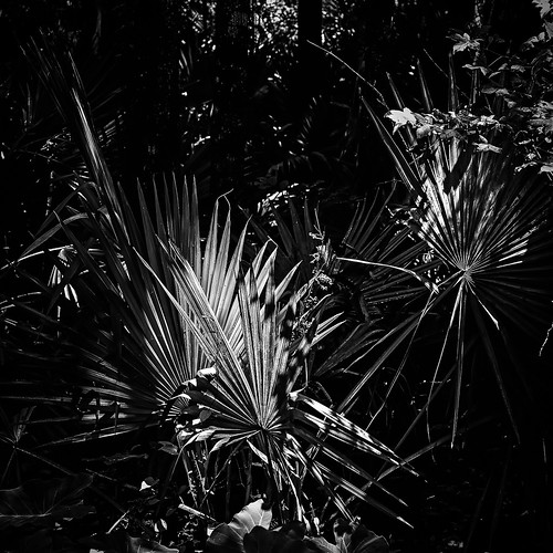 bw blackwhite blackandwhite fan fanpalm light monochrome palm shadow shadows sunlight woods houston texas unitedstates us