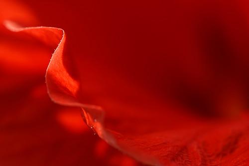 flowers red flower color colour detail macro colors monochrome closeup photography photo nikon mood colours photos curves photograph nikond200 kristinelicis
