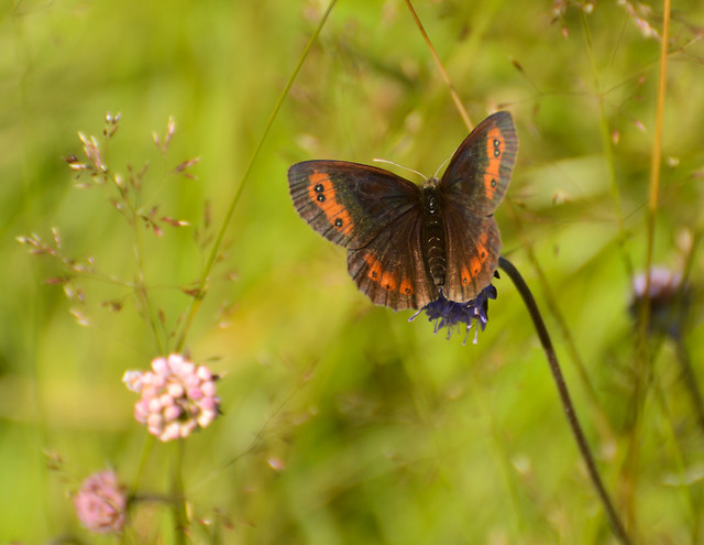 Scotch Argus on Devil's Bit Scabious