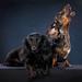 2012 Studio Dogs
