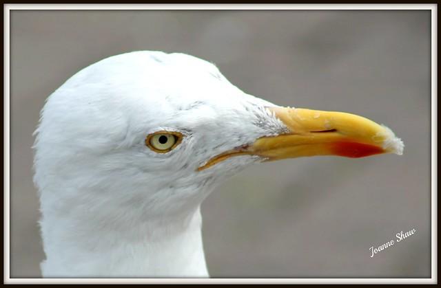 IMG_9935 Herring Gull cocking head nb raw