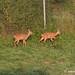 2012_08_13 Wildlife @ Sanem