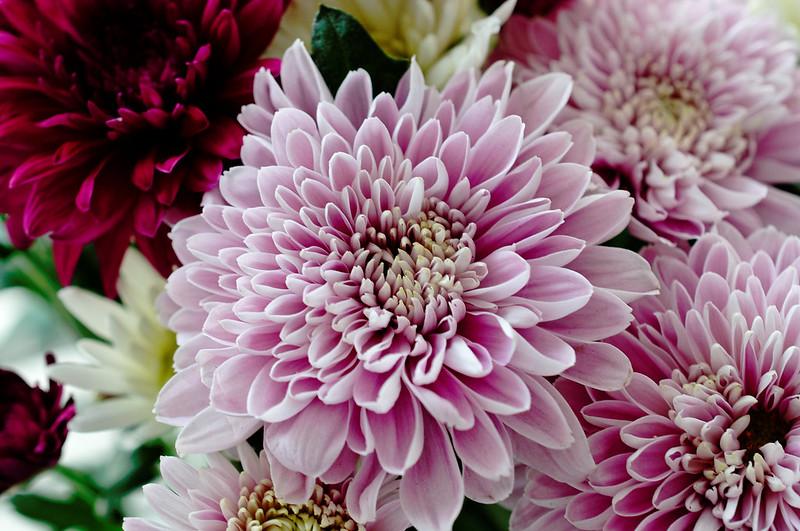 Chrysanthemum 305