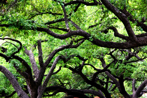Trees Covering University of Texas | by puffclinty
