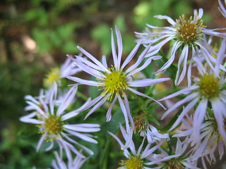 mountain aster | by all_downhill_from_here