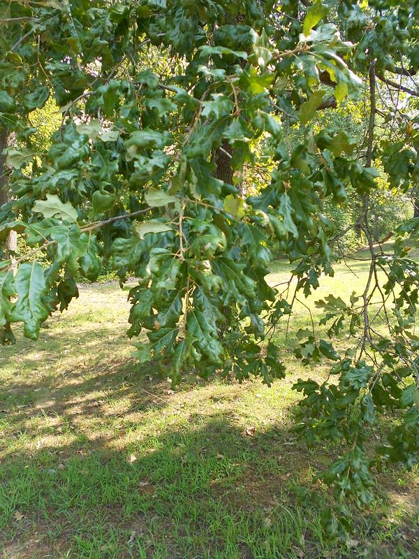 Drought Oak