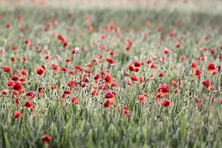Poppies_2314 | by flamesworddragon