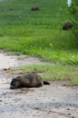 Groundhogs | by KenWorley
