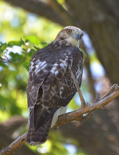 Red-tailed Hawk 08-20-2012 1231 | by Richard Hurd