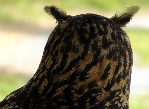 bird nature patterns raptor owl raptors birdsofprey birdofprey greathornedowl