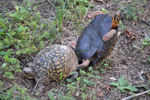 20120904 Turtle Love 005 | by cygnus921