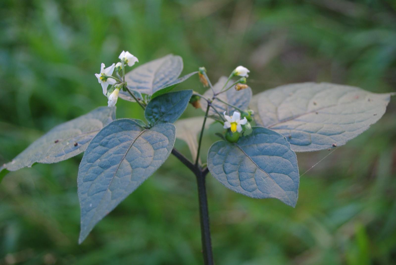 Blackberry nightshade (Solanum nigrum)