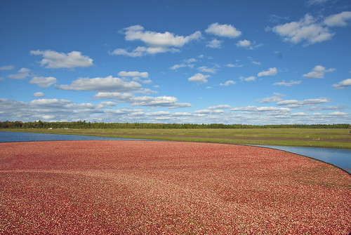 Cranberry_Harvesting | by wplynn