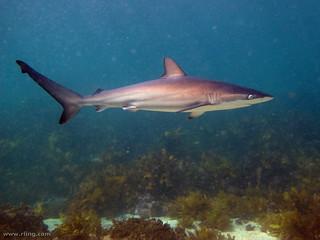 Dusky Whaler Shark | by richard ling