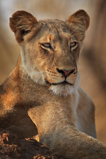Previous: Regal Lioness