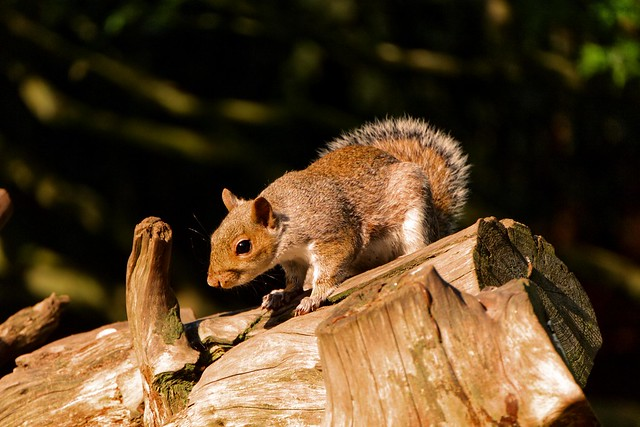 Squirrel at Clumber Park