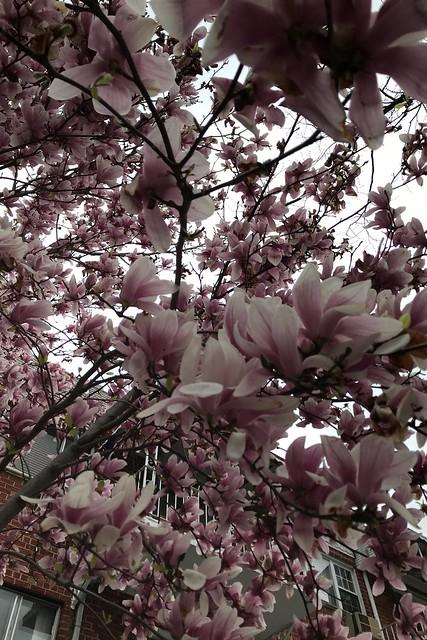 火, 2018-04-24 19:19 - Magnolia モクレン
