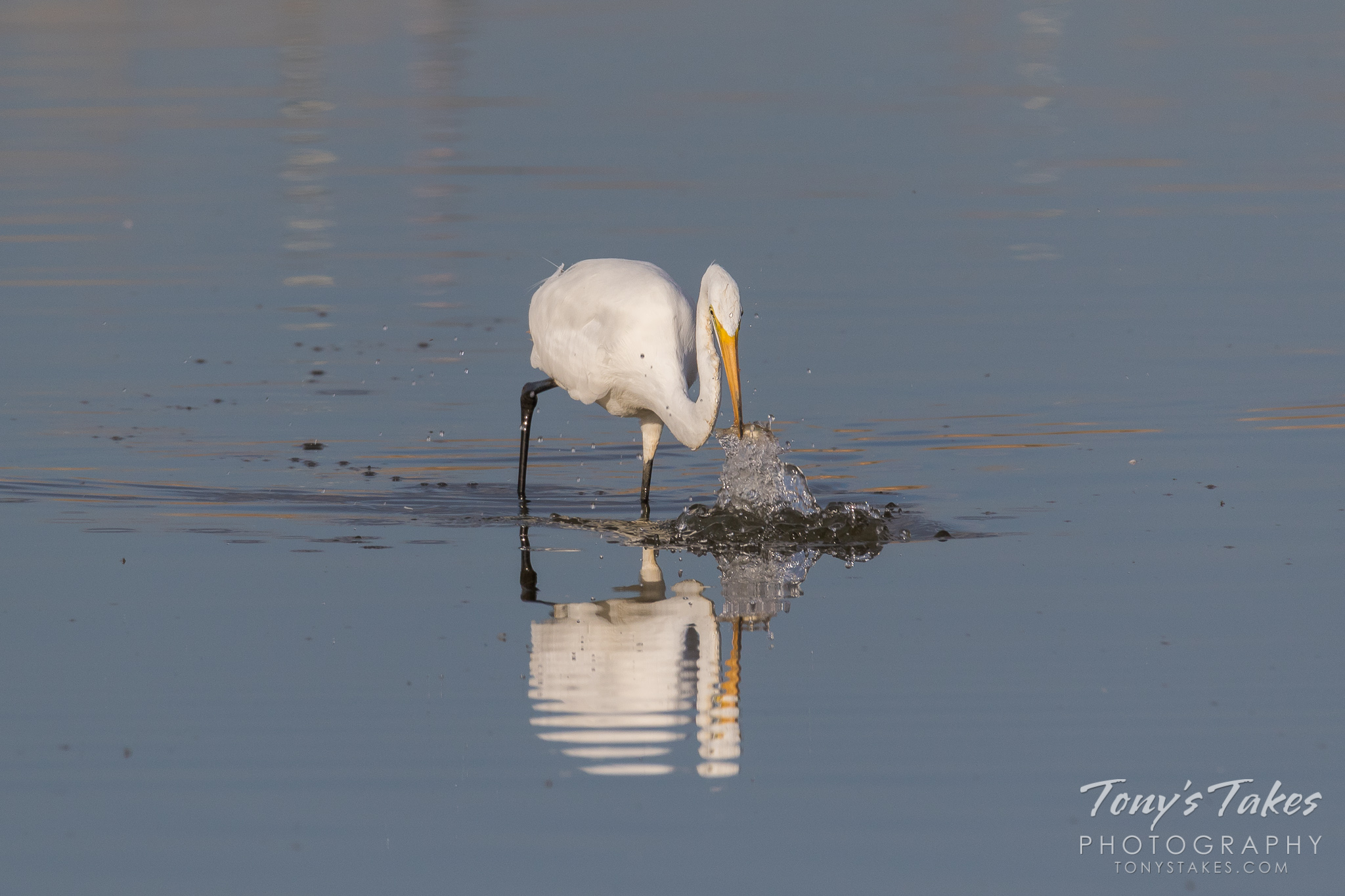 A Great Egret grabs a shad from a pond in northern Colorado.  (© Tony's Takes)