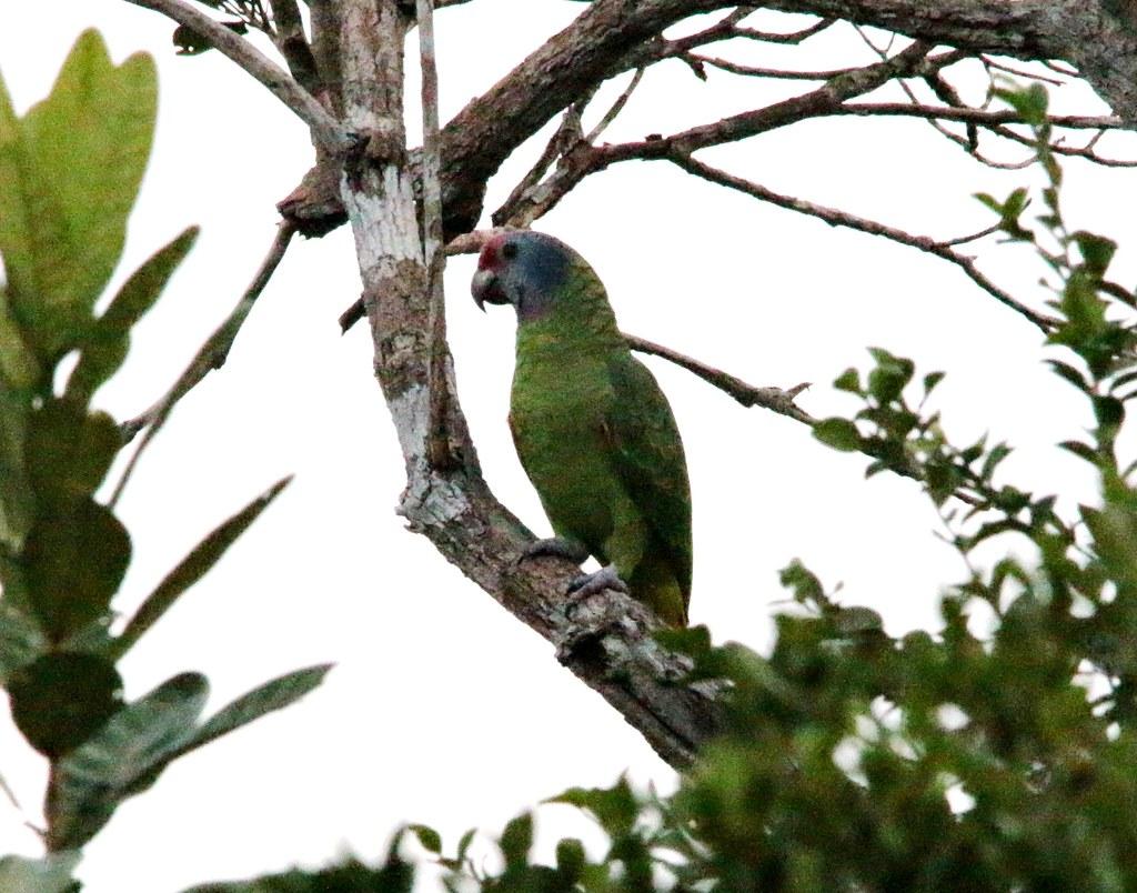 Papagaio de cara roxa - Amazona brasiliensis