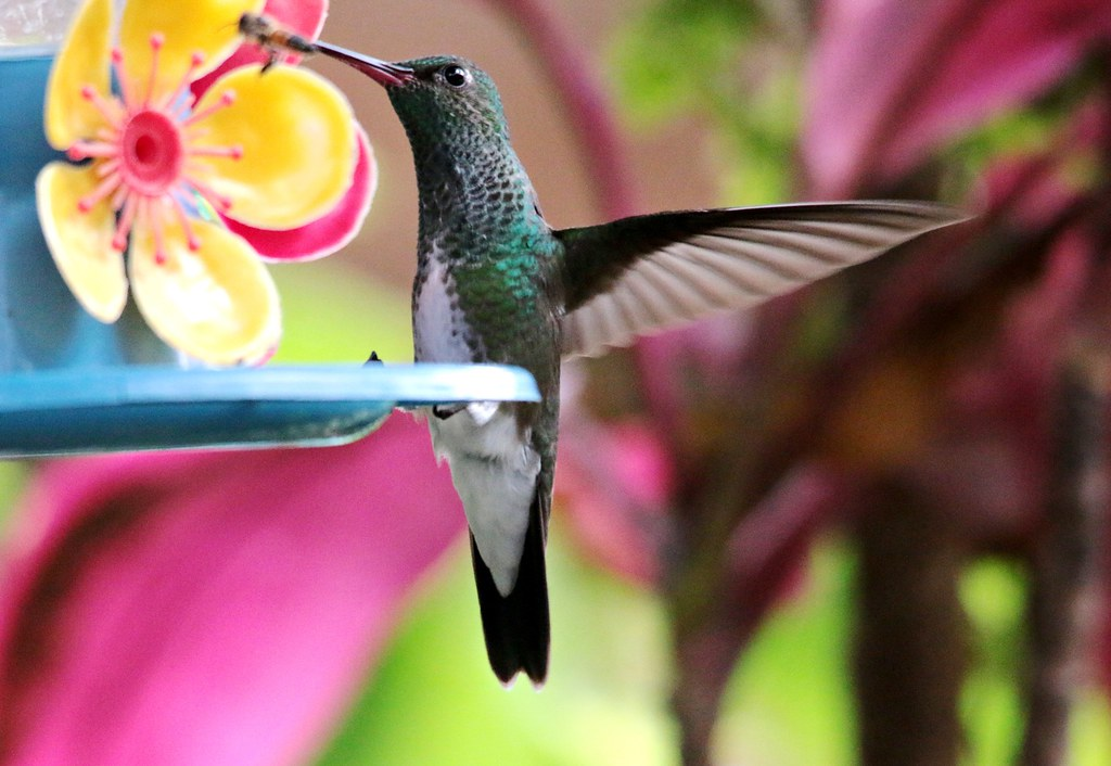 Beija Flor de garganta verde - Amazilia fimbriata
