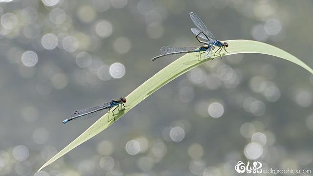 Three damesflies