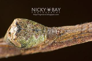 Comb-Footed Spider (Episinus sp.) - DSC_9972