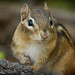 <p>I joke around that I take pictures of chipmunks when the opportunity arise to please my girlfriend.  But let`s face it, pretty much everyone likes to see a cute little chipmunk once in a while.</p>