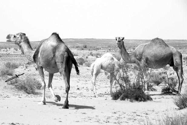 Camel In Land . B&W