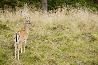 Fallow Deer Buck | by Mike G Photos