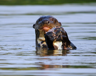 Giant River Otter - Today's Explore #370 10/10/12 - Pantanal, Brazil | by Susan Roehl