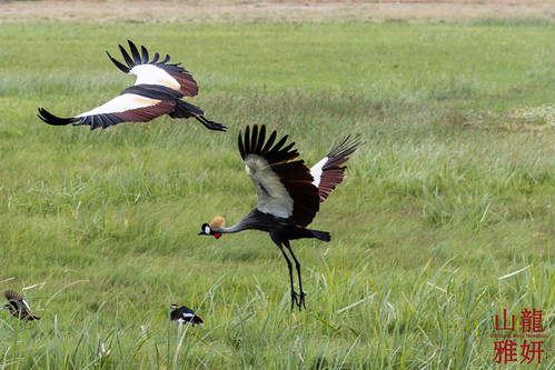 Grey Crowned Cranes in flight   by DragonSpeed